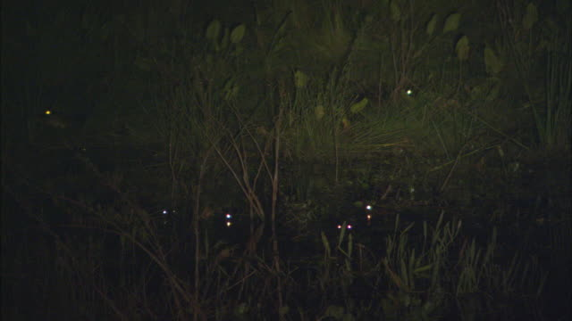 ws yacare caiman's (caiman yacare) eyes glowing in swamp at night / pantanal, mato grosso do sul, brazil - 2006 stock videos & royalty-free footage