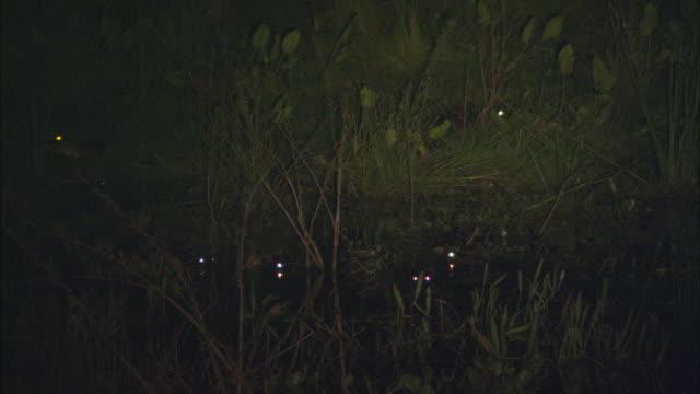 WS Yacare Caiman's (Caiman yacare) eyes glowing in swamp at night / Pantanal, Mato Grosso do Sul, Brazil