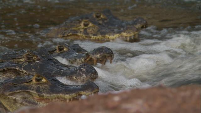 cu yacare caimans (caiman yacare) in rushing water with mouths open waiting to catch fish / pantanal, mato grosso do sul, brazil - カイマン点の映像素材/bロール