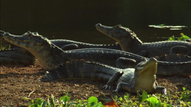 ms pan yacare caimans (caiman yacare) resting motionless by river / pantanal, mato grosso do sul, brazil - カイマン点の映像素材/bロール