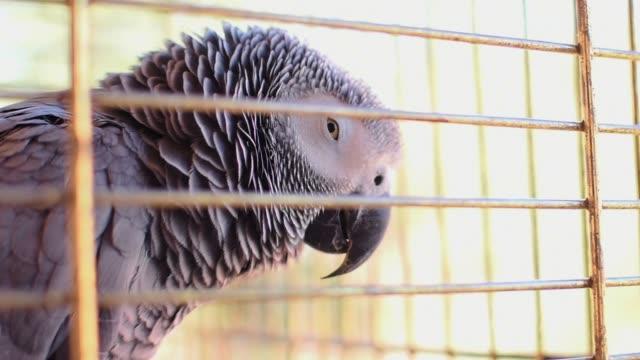 yaco papagei (psittacus erithacus) in ihrem vogelkäfig - grau stock-videos und b-roll-filmmaterial