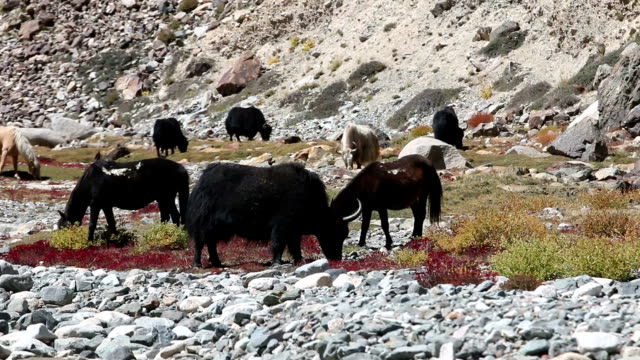 Yak are grazing in a beautiful natural