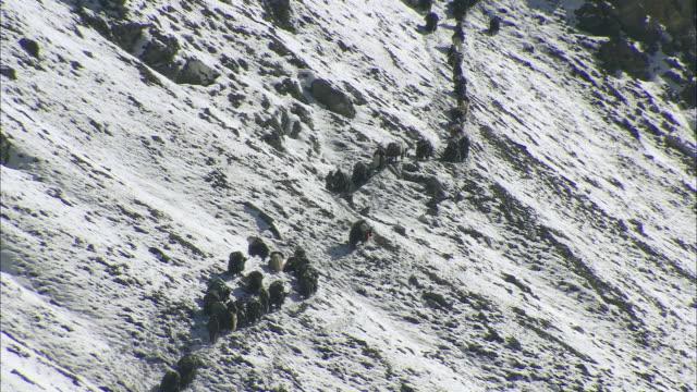 vídeos de stock, filmes e b-roll de ws tu yak caravan descending snow covered mountain / high himalayas, upper dolpo, nepal   - animal de trabalho