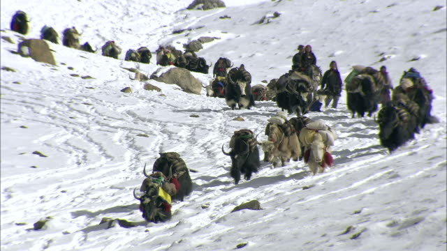 WS PAN Yak caravan desending snow covered mountain / High Himalayas, Upper Dolpo, Nepal