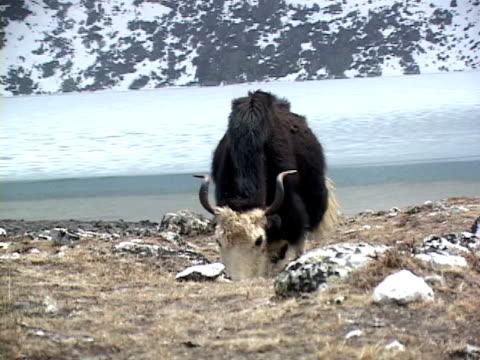 cu, zo, ws, yak (bos grunniens) grazing by river, snow capped mountains in background, katmandu, khumbu- himalaya, nepal - yak stock videos & royalty-free footage