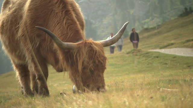 Yak grazing in the mountains