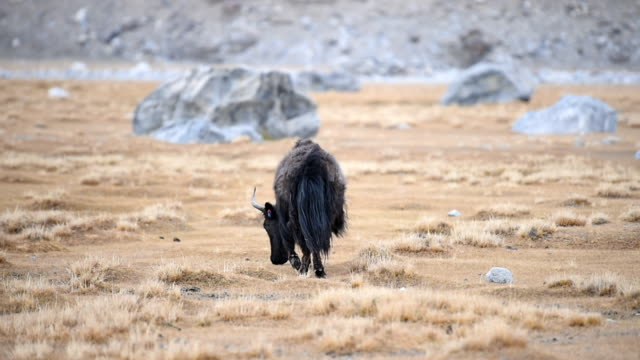 yak in himalaya mountains. india, ladakh - animals in the wild stock videos & royalty-free footage