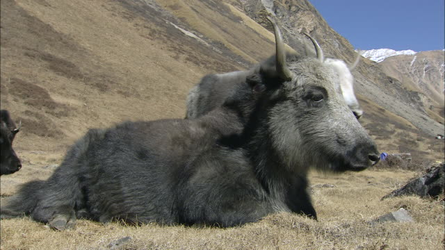 MS Yak resting on the grass in the warm sun / High Himalayas, Upper Dolpo near Tibetan border, Nepal