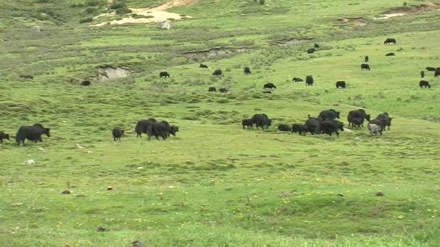yaks grazing in east tibet - yak stock videos & royalty-free footage