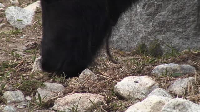 cu zo ws pan yaks grazing in mountains / mt. everest base camp, tibet - yak stock videos & royalty-free footage