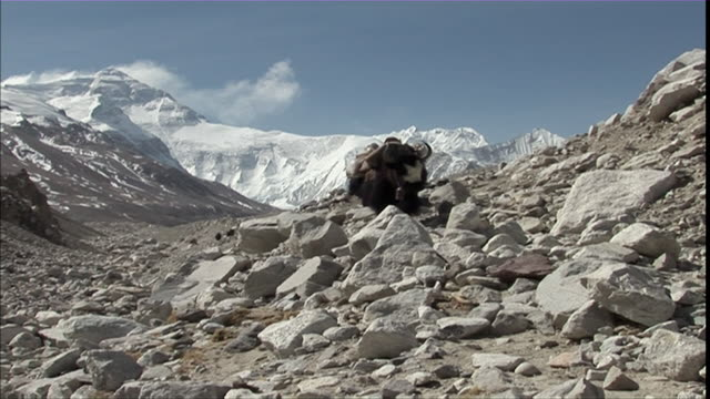 MS ZI Yaks loading with packs walking through rocks on snowy Mt. Everest visible in B/G/ Madagascar