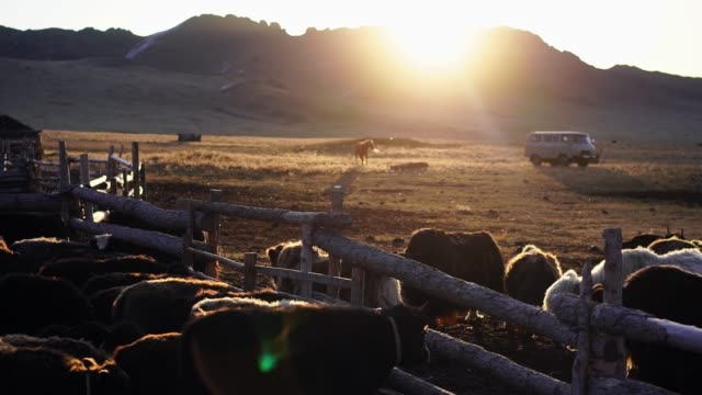yaks on pasture in  mongolia at sunset - independent mongolia stock videos & royalty-free footage