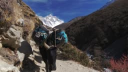 Yaks transport goods across mountain passes for trekking expedition. Sagarmatha National Park, Nepal