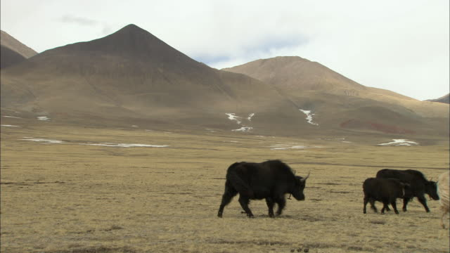 WS Yaks walking across Himalayan region, Tibet, China
