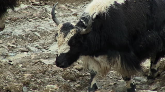 ms pan yaks walking on rocky path, rural, tibet - 膝から上の構図点の映像素材/bロール