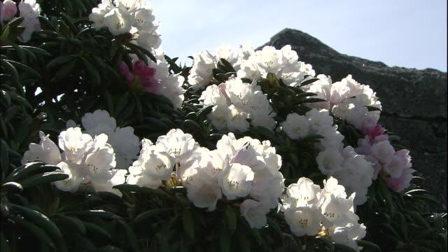 yakushima shakunage (rhododendron) of yakushima - rhododendron stock videos and b-roll footage