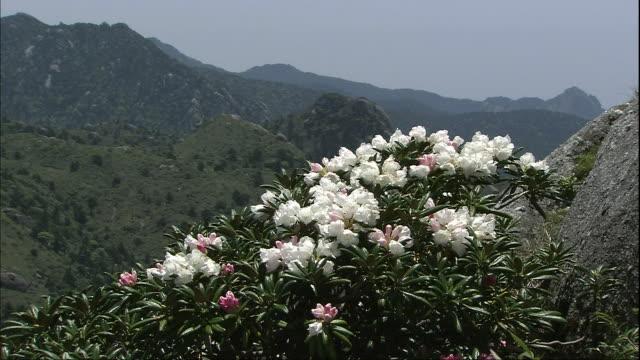 yakushima shakunage (rhododendron) of yakushima - satoyama scenery stock videos & royalty-free footage