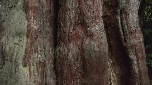 yaku-sugi(cryptomeria) of yakushima. - cedar stock videos & royalty-free footage