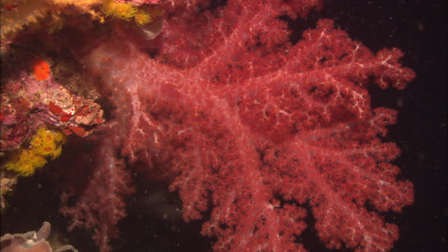vídeos y material grabado en eventos de stock de yamagiri, night, soft coral red, chuuk lagoon, south pacific  - océano pacífico sur