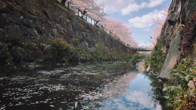 WS, Yamazaki river, Nagoya, surrounded by cherry blossoms