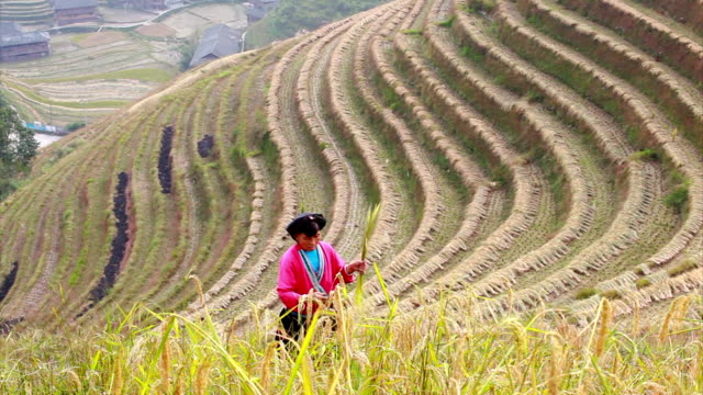 yao ethnic minority farmer working in his rice paddy - chinese culture stock videos & royalty-free footage
