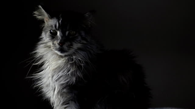 gähnende mainecoon katze - boredom stock videos & royalty-free footage