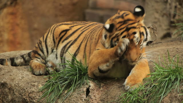 yawning tiger (full hd) - zoo stock videos & royalty-free footage