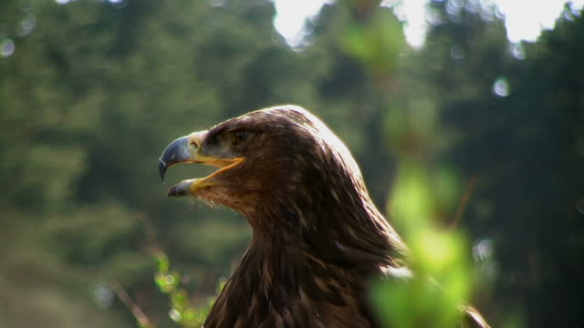 yawning white tailed sea eagle - mouth open stock videos and b-roll footage