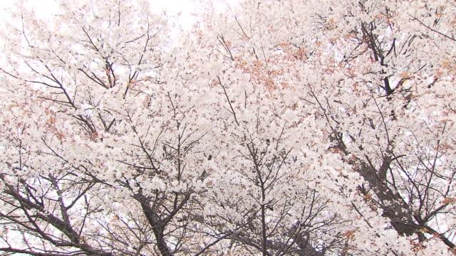 100 Year Old Sakura Blossoms , Japan