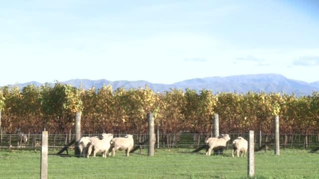 stockvideo's en b-roll-footage met years of surplus in new zealand's prime wine growing region have pummeled prices and forced many wineries to shut their doors. blenheim, marlborough,... - clean