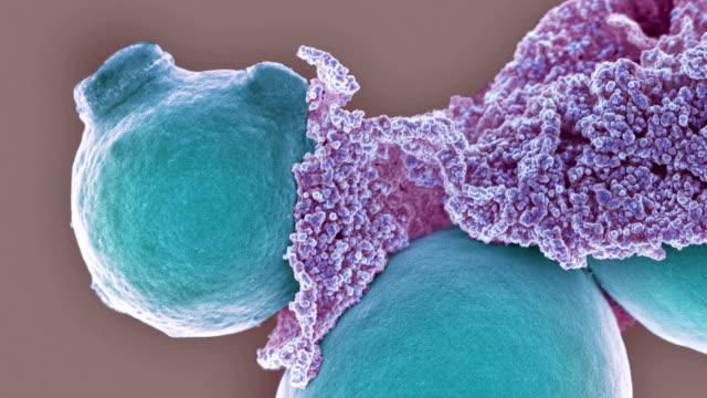 yeast and extracellular matrix, sem - thrush stock videos & royalty-free footage