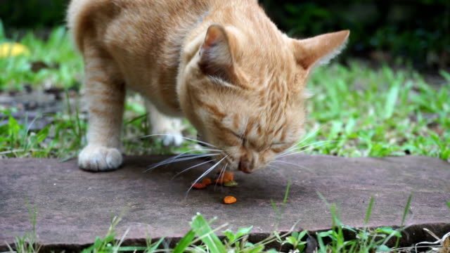 Yellow alley cat eating dry food on a lawn.