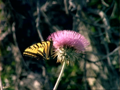 ms yellow and black butterfly on a thistle, usa - 動物の色点の映像素材/bロール
