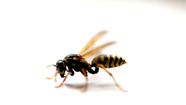 yellow and black wasp - ape video stock e b–roll