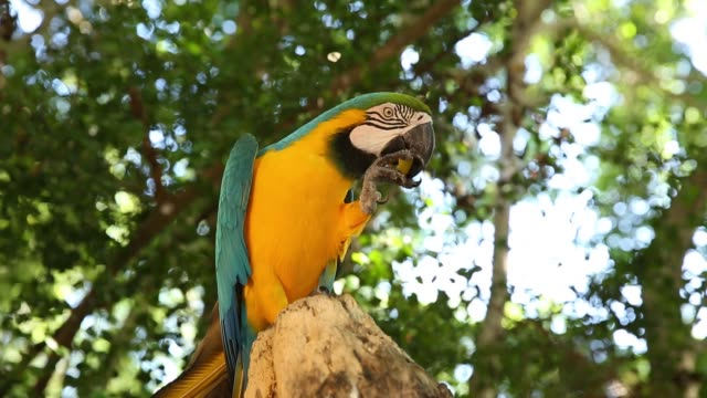 yellow and blue macaw eating mango - becco video stock e b–roll
