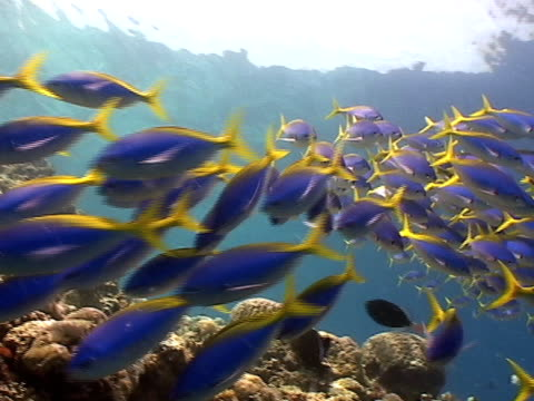 Yellow and Blueback Fusilier over the Reef