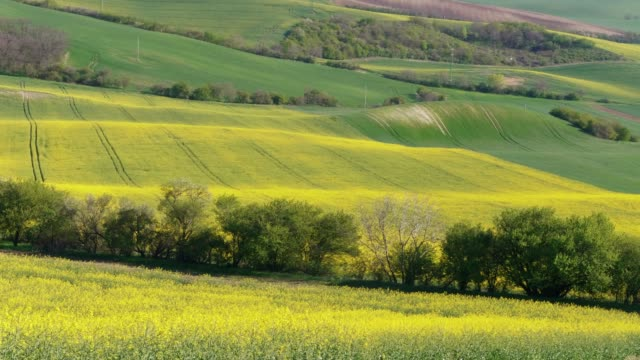 yellow and green billowy hills with flowering canola oil and field of wheat on sunny spring day. oilseed rape flowers - rapeseed oil stock videos and b-roll footage