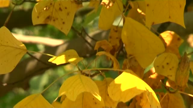 yellow and green leaves - zweig stock-videos und b-roll-filmmaterial