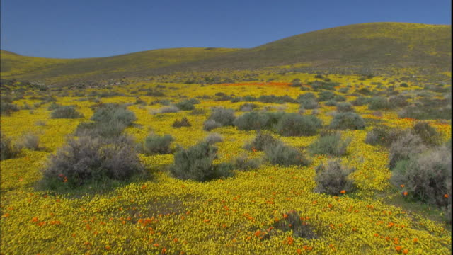 Yellow and orange poppies cover a hillside.