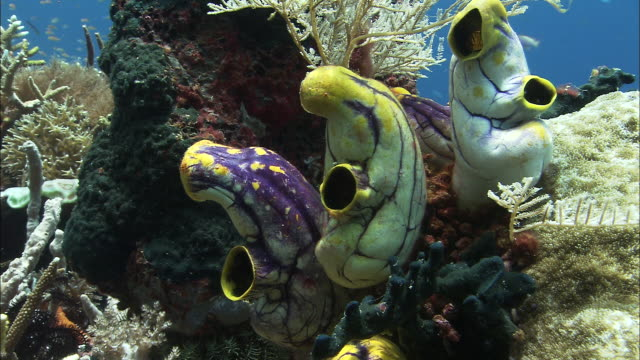 yellow and purple sea squirts on coral reef, west papua, indonesia - sea squirt stock videos & royalty-free footage