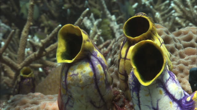 yellow and purple sea squirts on coral reef, west papua, indonesia - spectacles stock videos & royalty-free footage