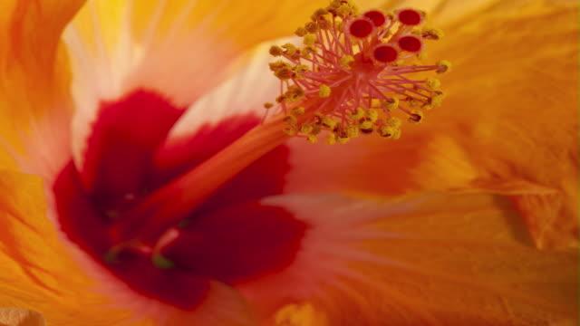 vídeos de stock e filmes b-roll de a yellow and red flower blossoms. - estame