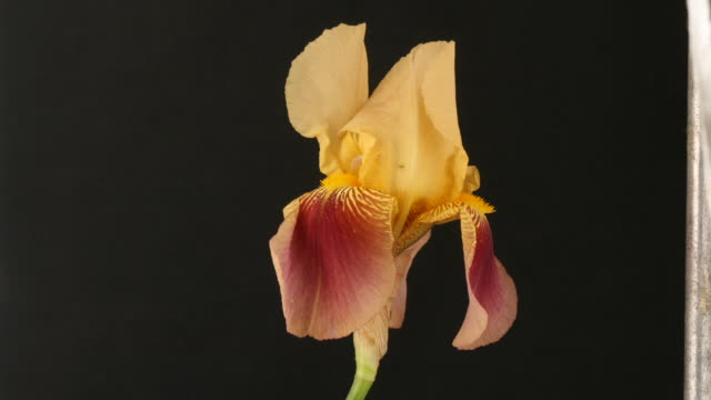 yellow and red iris flower closing, black background, timelapse reversed. - iris plant stock videos & royalty-free footage