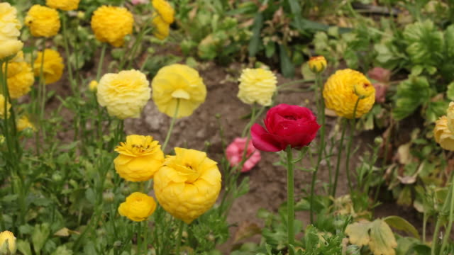 Yellow and red ranunculus blooming
