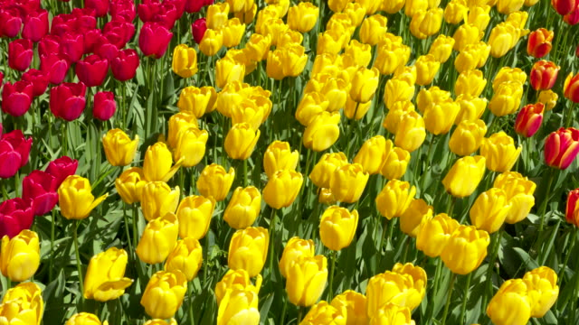 yellow and red tulips in formal garden, zoom out. lisse, south holland, netherlands. - south holland stock videos and b-roll footage