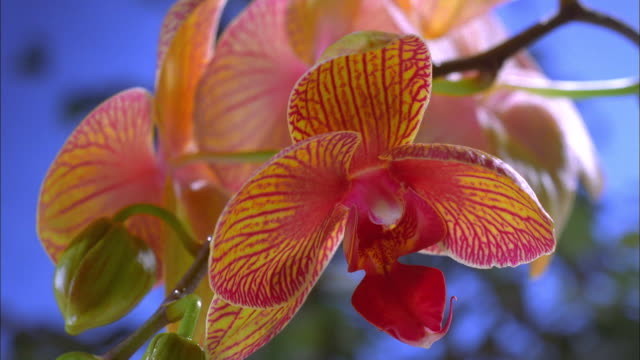 Yellow and red veined orchid blossoming Available in HD.