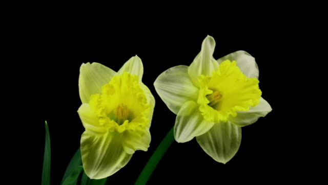 yellow and white daffodil blooming - paperwhite narcissus stock videos & royalty-free footage
