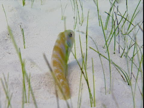vídeos de stock e filmes b-roll de a yellow and white striped razorfish rests on the seabed before diving under the sand in the bahamas. - sargaço