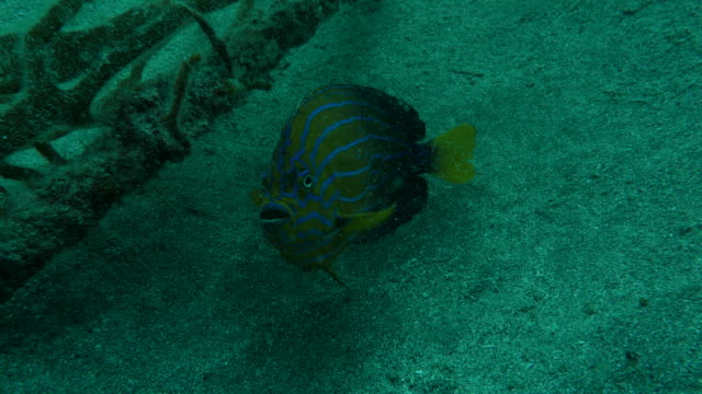 yellow angelfish - angelfish stock videos & royalty-free footage