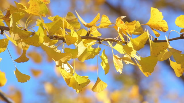 yellow autumn foliage with sunny light - maple stock videos & royalty-free footage